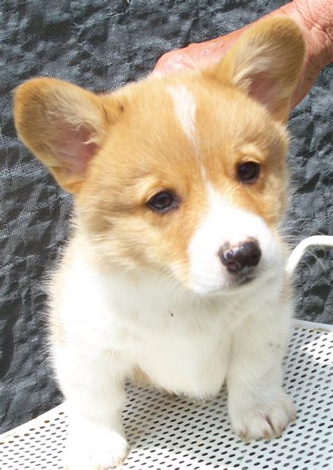 corgi puppies for sale ny corgi puppies 200 in florida breeds picture