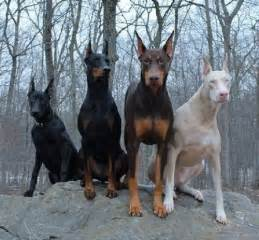 doberman colors doberman pinscher color and markings allowed colors