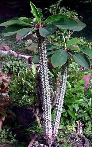 plants  cambodia