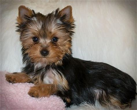 yorkies for sale orlando baby doll yorkies florida breeds picture