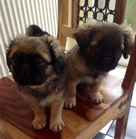 pug cross puppies pug cross cavalier puppies fishguard pembrokeshire pets4homes