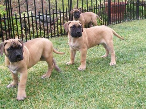 bullmastiff puppies ohio bullmastiff breeders in ohio breeds picture