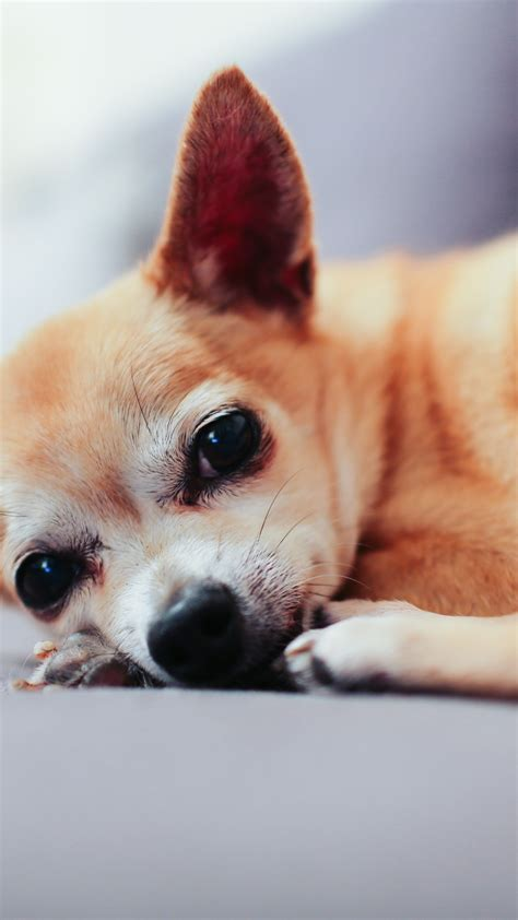 wallpaper for iphone puppies animal dog chihuahua puppy iphone wallpaper idrop news