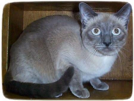 rescue ny siamese cat rescue florida cats pet photos gallery lk2loqekey