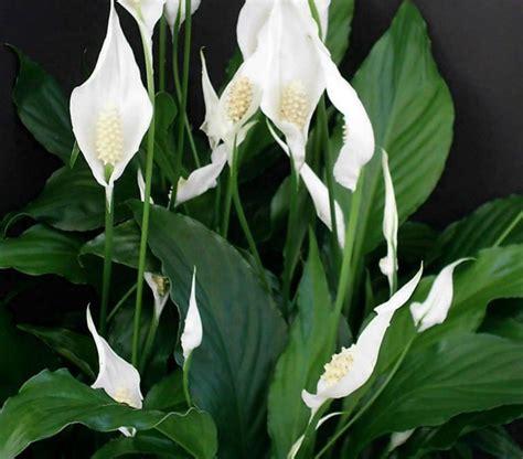 peace lily oxley nursery