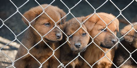 animal shelter puppies for sale election a win for dogs animals australia