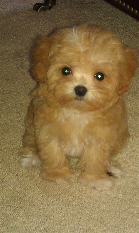 pictures of maltipoo puppies cutest maltipoo but that name has got to go such a