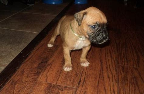 dogs for sale in cincinnati amazing breed boxer puppies for sale adoption from cincinnati ohio adpost