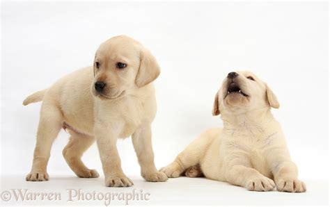 7 week lab puppy dogs yellow labrador retriever puppies 7 weeks photo wp24918