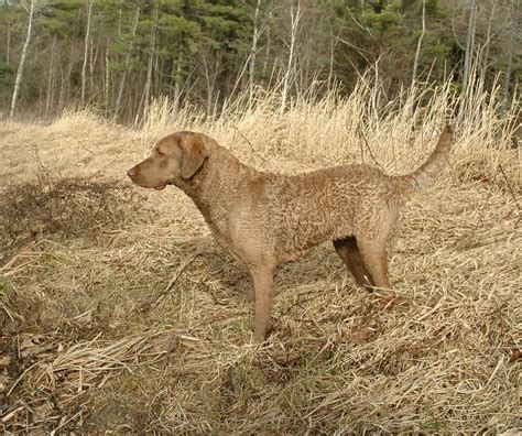 chesapeake bay retriever colors why the color is called quot dead grass quot chesapeake bay