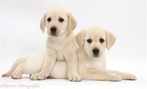 chagne lab puppies white lab quotes inspirational quotesgram
