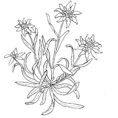 edelweiss flower coloring page how to draw edelweiss