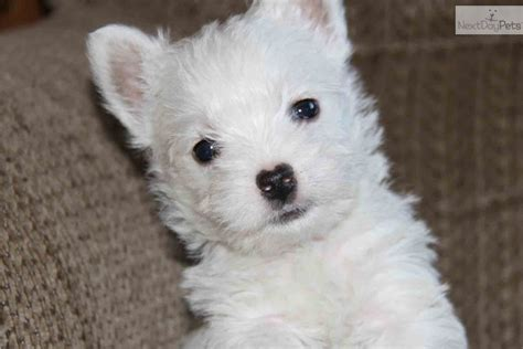 westie puppies for sale in pa west highland terrier puppy for sale westie for sale breeds picture