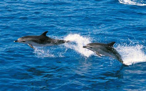 catamaran delfin playa gran canaria avistamiento de ballenas y delfines royal delfin