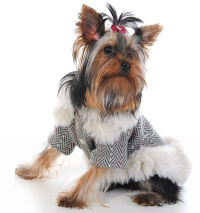 best food for yorkies with sensitive stomachs best food for terriers keeping your healthy jerusalem post