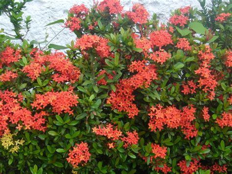 imagenes de flores isoras mi jardin cuidar de tus plantas es facilisimo com