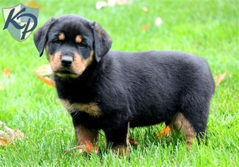 rottweilers for sale in pa 17 best ideas about rottweiler puppies for sale on german rottweiler baby