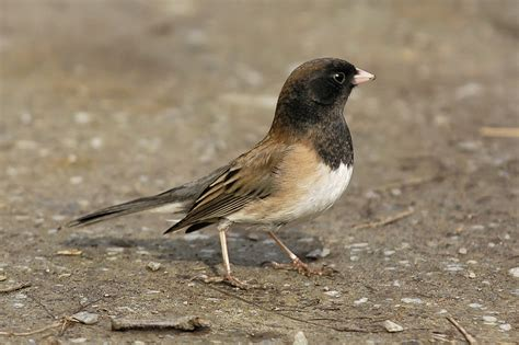 dark eyed junco song call voice sound