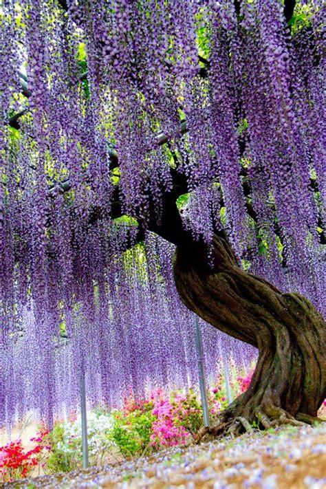 ashikaga flower park ashikaga flower park japan amazing places pinterest