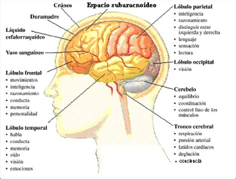 imagenes de el cerebro humano imagenes del cerebro y sus partes