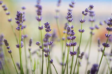 lavendel als zimmerpflanze echter lavendel lavandula angustifolia g 252 nstig kaufen