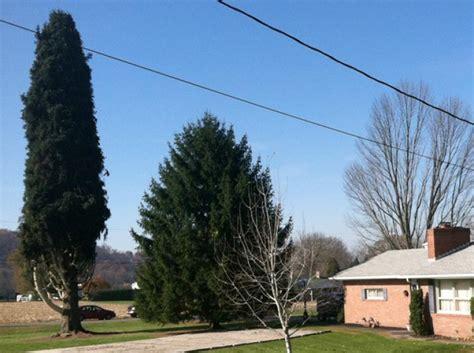 pa spruce to be rock center tree ny daily news