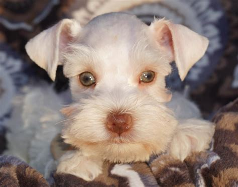 brown schnauzer puppies for sale teacup and miniature schnauzer puppies for sale