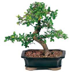 Lanterns For Home Decor Chinese Elm Bonsai Care
