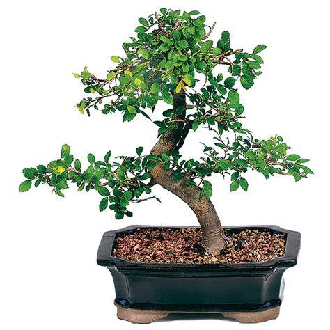 best grow light for bonsai bonsai care sheets bonsaioutlet com