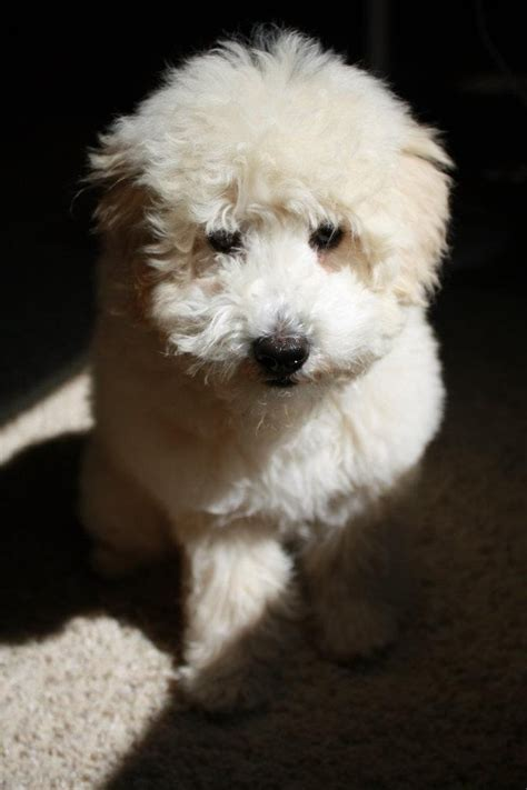 goldendoodle puppy how much food 1000 images about snickerdoodles goldendoodles on