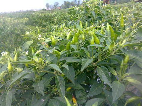 Pupuk Untuk Bunga Supaya Subur tips pupuk untuk cabe rawit dan cabe merah agar lebat