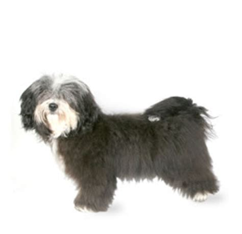 havanese average weight havanese breed dogs information