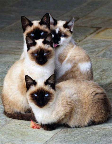 8 Reasons To Get A Siamese Cat by 12 Reasons Why You Should Never Own Siamese Cats