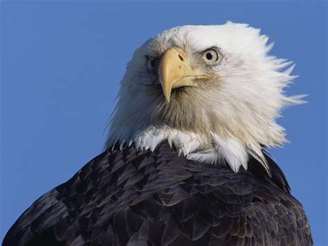Bald Eagle Wallpapers   Animal Literature