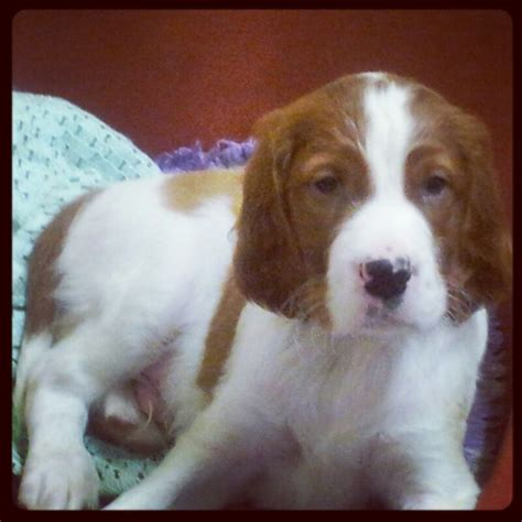 irish red and white setter dogs for sale gorgeous irish red and white setter puppy bexhill on sea