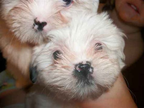 shih tzu cross pitbull tibetan spaniel shih tzu mix breeds picture