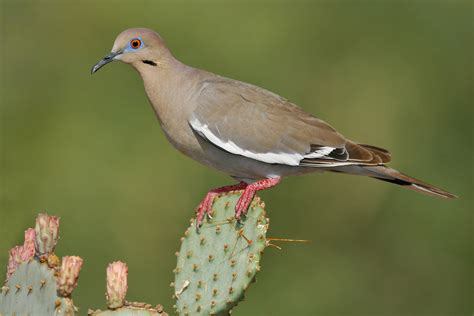 white winged dove audubon field guide