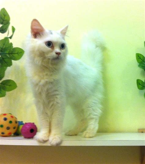 Sho Kucing Putih kucing kucing maine coon untuk dijual
