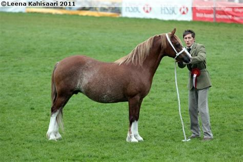 Cob Section C by 17 Best Images About Pony Of Cob Type Section C On