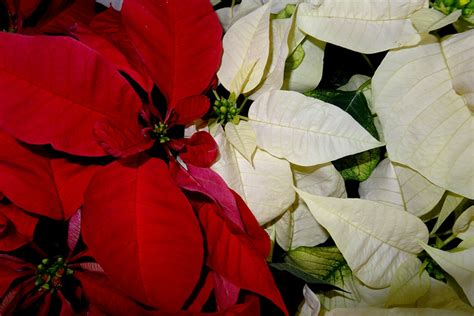 poinsettia and dogs poisonous plants to cats and dogs healthy paws