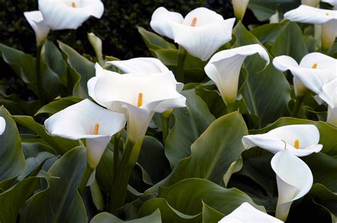 garden of white lilies free stock photo public domain pictures