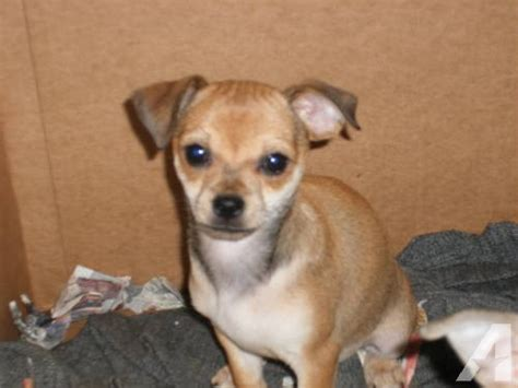 pug chihuahua mix for sale 2 chihuahua and pug mix puppies 12 weeks for sale in caldwell idaho