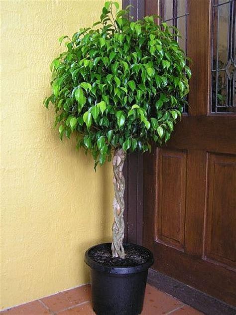 Ficus Benjamin Secco by C 243 Mo Cuidar Un Ficus Benjamina Ehow En Espa 241 Ol