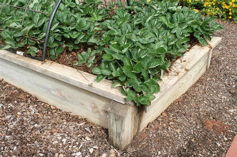 how to plant strawberries in a raised bed strawberry plants in raised bed flickr photo sharing