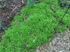 online plant guide selaginella uvea peacock moss