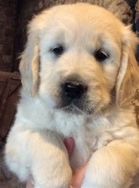registered golden retriever puppies for sale registered golden retriever puppies for sale llanwrda carmarthenshire pets4homes