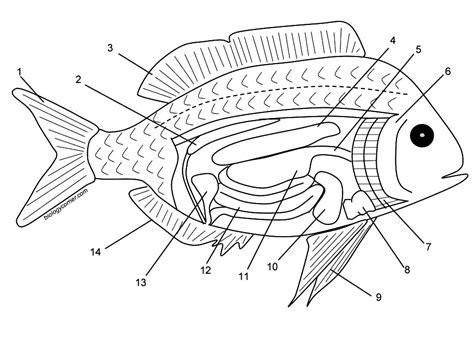fish diagram coloring page fish internal anatomy coloring