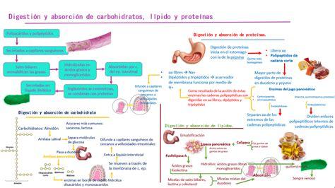 proteinas y lipidos yongui fisiolog 237 a medica digesti 243 n y absorci 243 n de