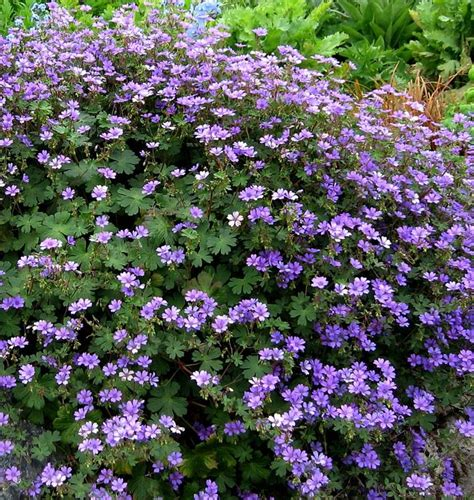 perennial flowering shrubs buy geranium pyrenaicum bill wallis delivery by