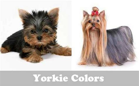 what of yorkies are there yorkie colors terrier coat colors yorkiemag